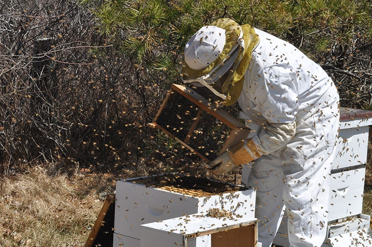 Nantucket beekeeper Joe Manning installs honeybee colonies in Surfside.
