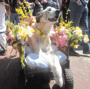 Nantucket Daffodil Festival Dog Parade