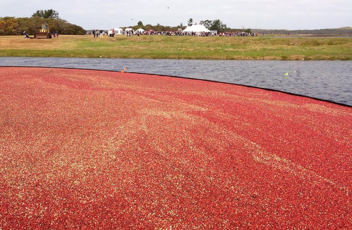 Nantucket Cranberry Bog
