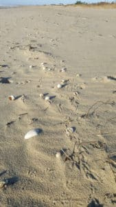 Nantucket perwinkles on sand