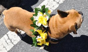 Daffy Dog on Nantucket