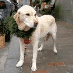 Dog at Nantucket Chrismas Stroll