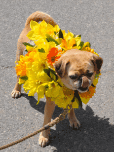 Nantucket Daffodil Festival Dog