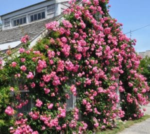 Roses on Mitchell Street Sconset