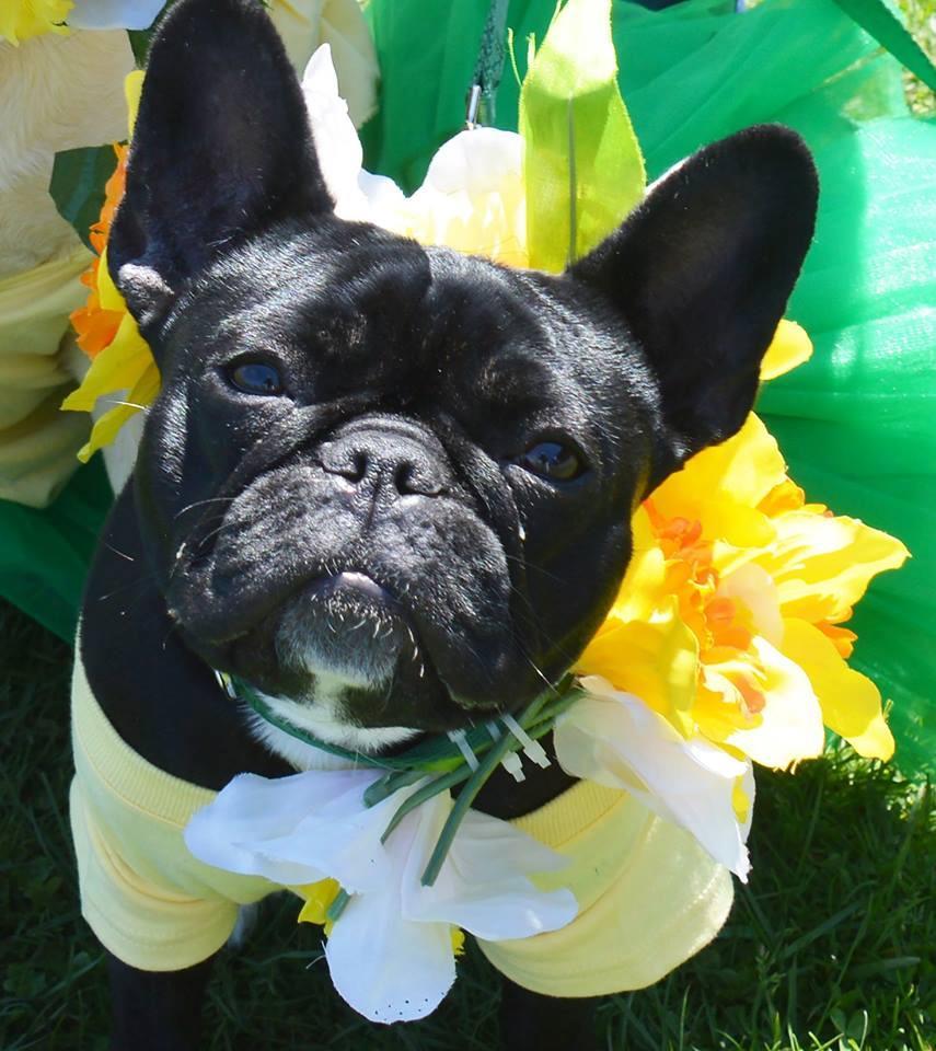 Nantucket Island Daffodil Dog Parade