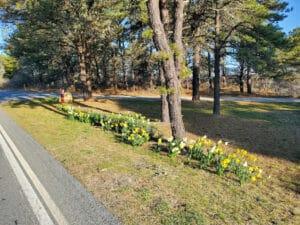 Daffodils on Nantucket