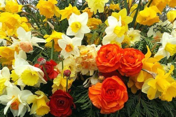 Nantucket Main Street daffodils