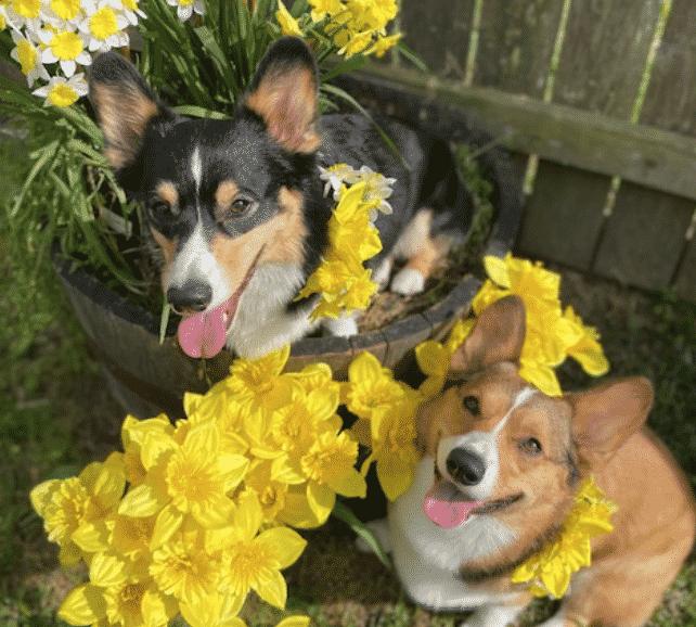 Daffodil Pet Shows