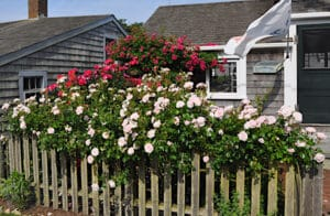 Sconset Roses on Nantucket