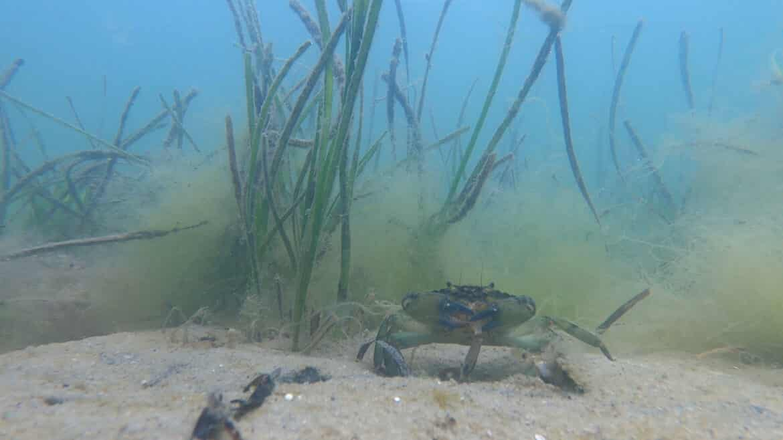 Nantucket_Green_Crab